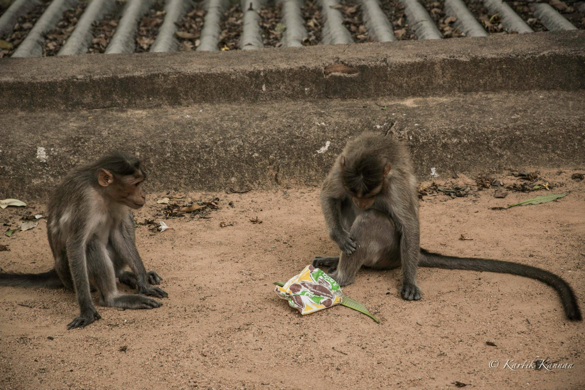 Monkeys of Makalidurga