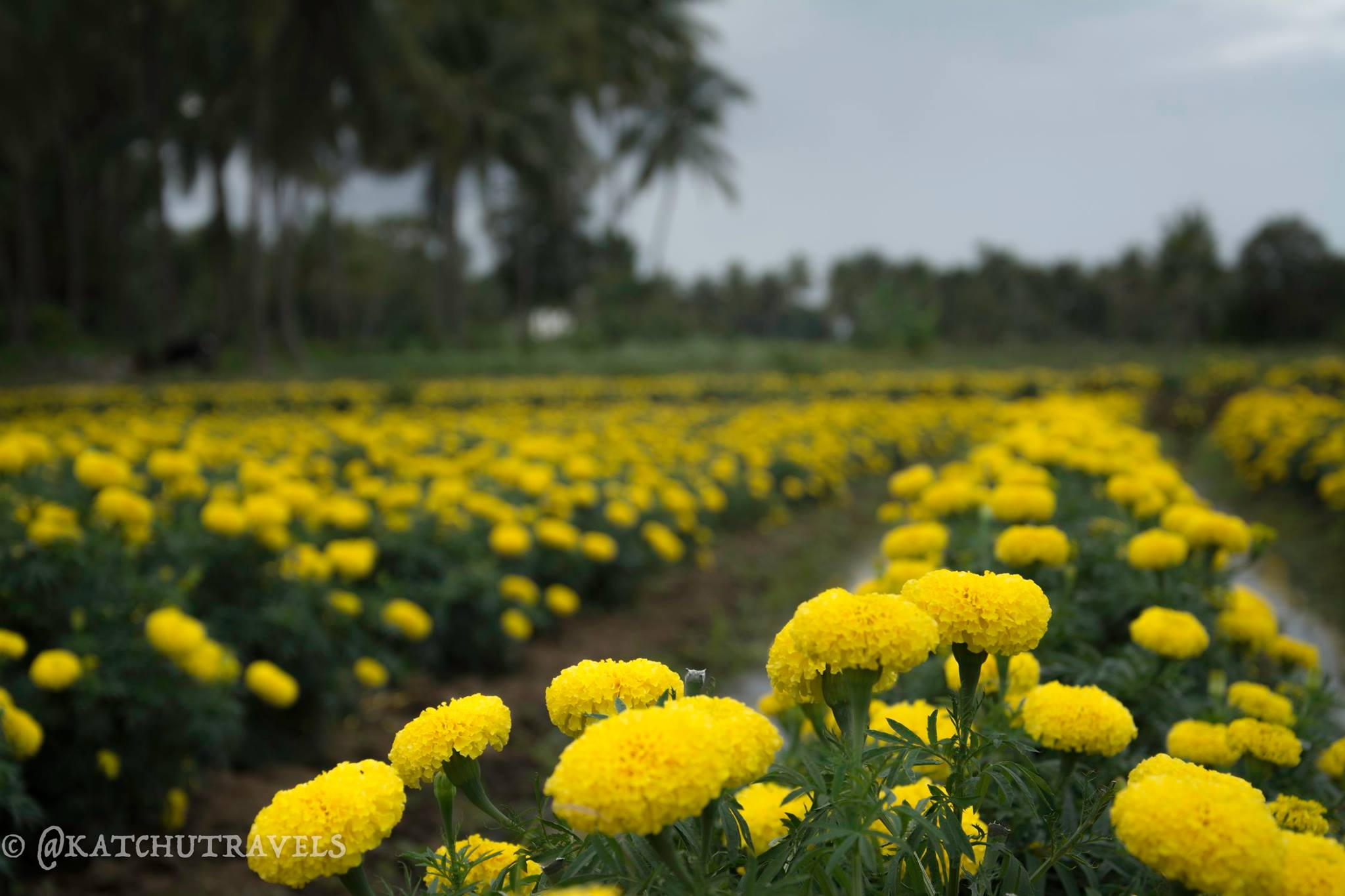 Marigolds in Srirangapatna