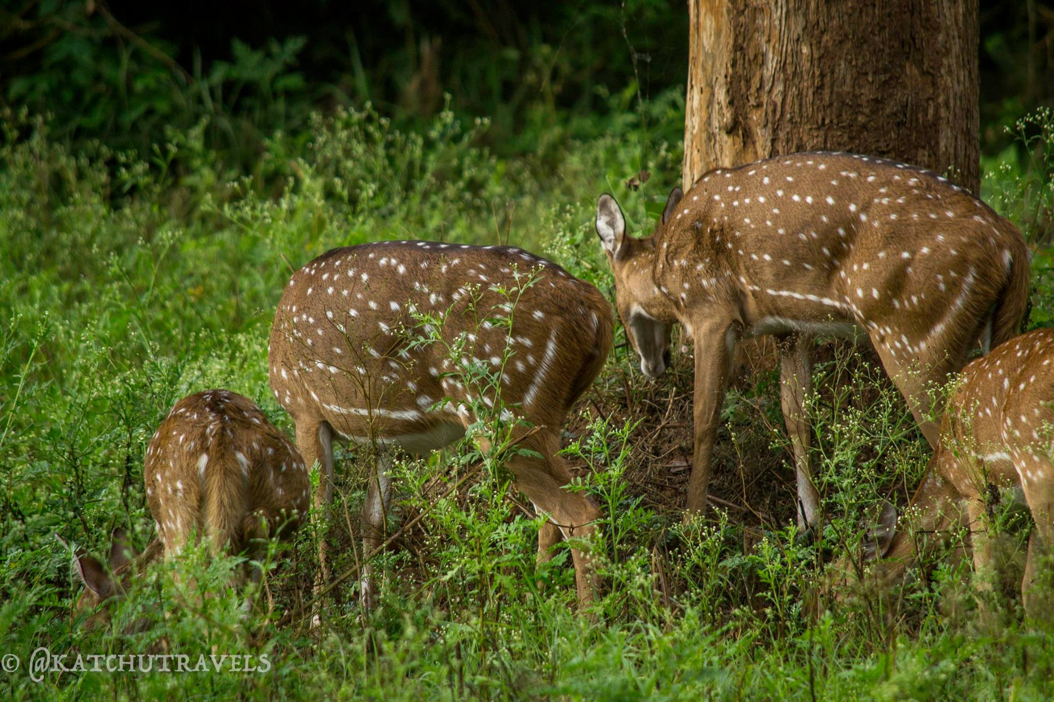 Spotted Deers in Nagarhole