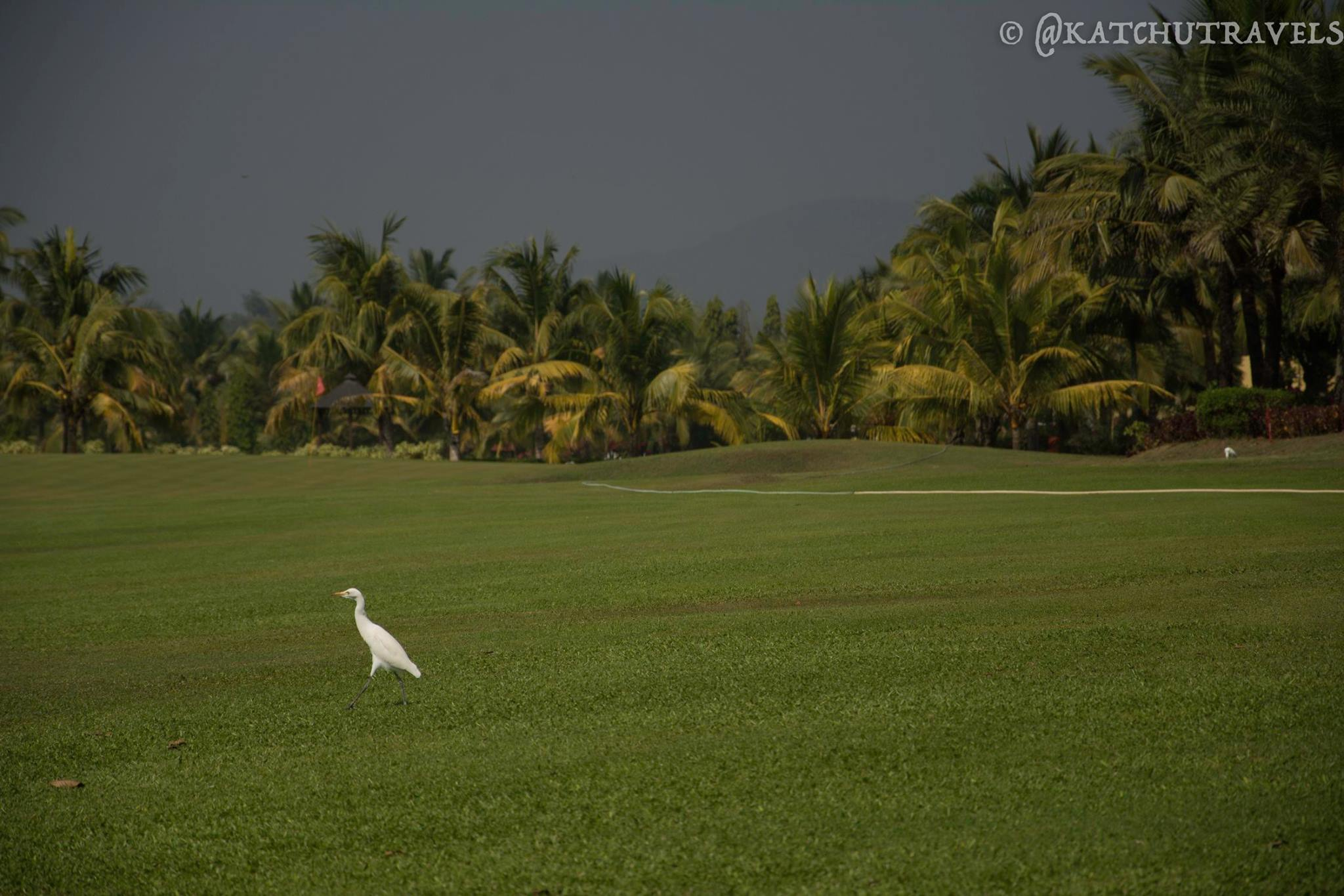 Swan on the lawns of the Lalit-Intercontinental Golf Course. We passed them on a bike parallel to the course!