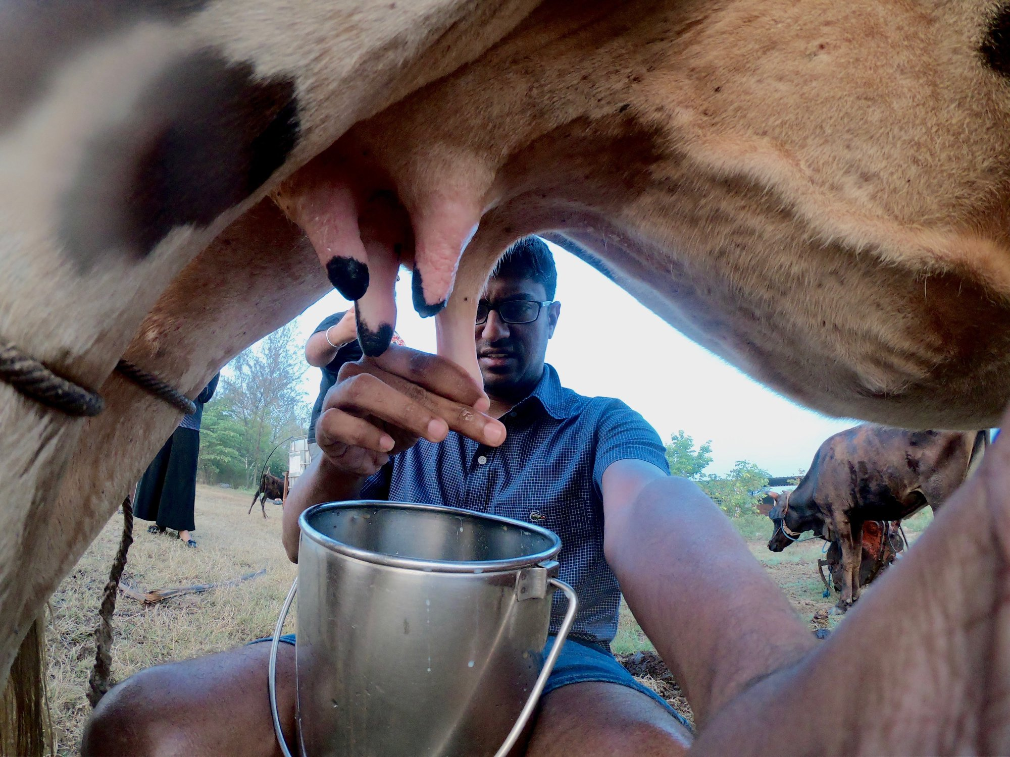Milking the Cow at Vaksana Farms