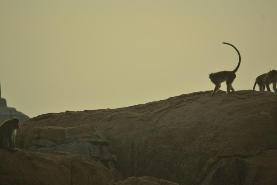 Monkeys guarding Hanuman's hometown-Anjanadri Hill (Hampi-Karnataka-India)