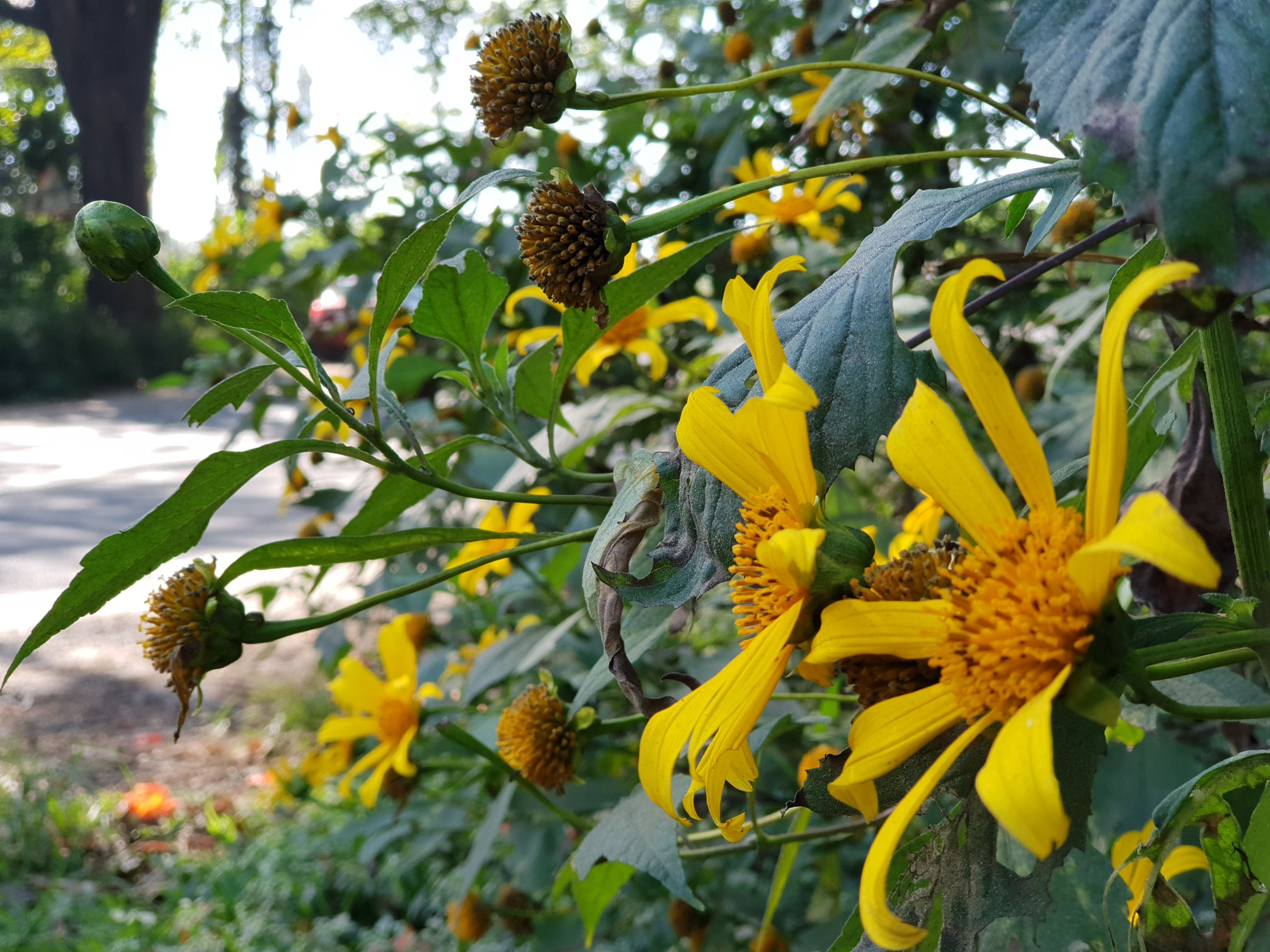 Sunflower Spotting at Sakleshpur